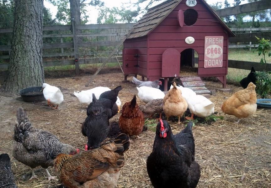 Chicken Nesting Ideas