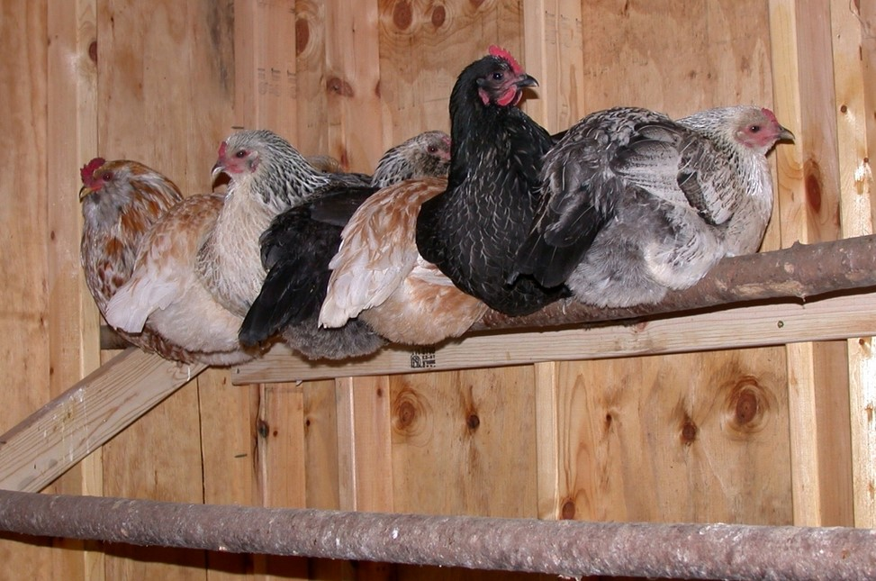 Chicken Roosting Ideas from wood